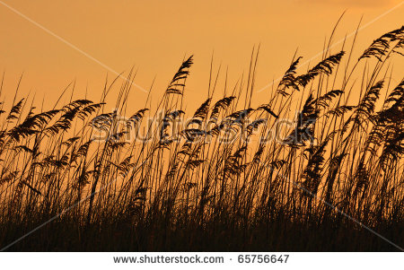 Sea Oats (Uniola Paniculata) On Dusk Time Stock Photo 65756647.