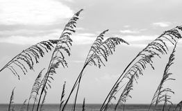 Sea Oats Blowing In The Wind Royalty Free Stock Images.