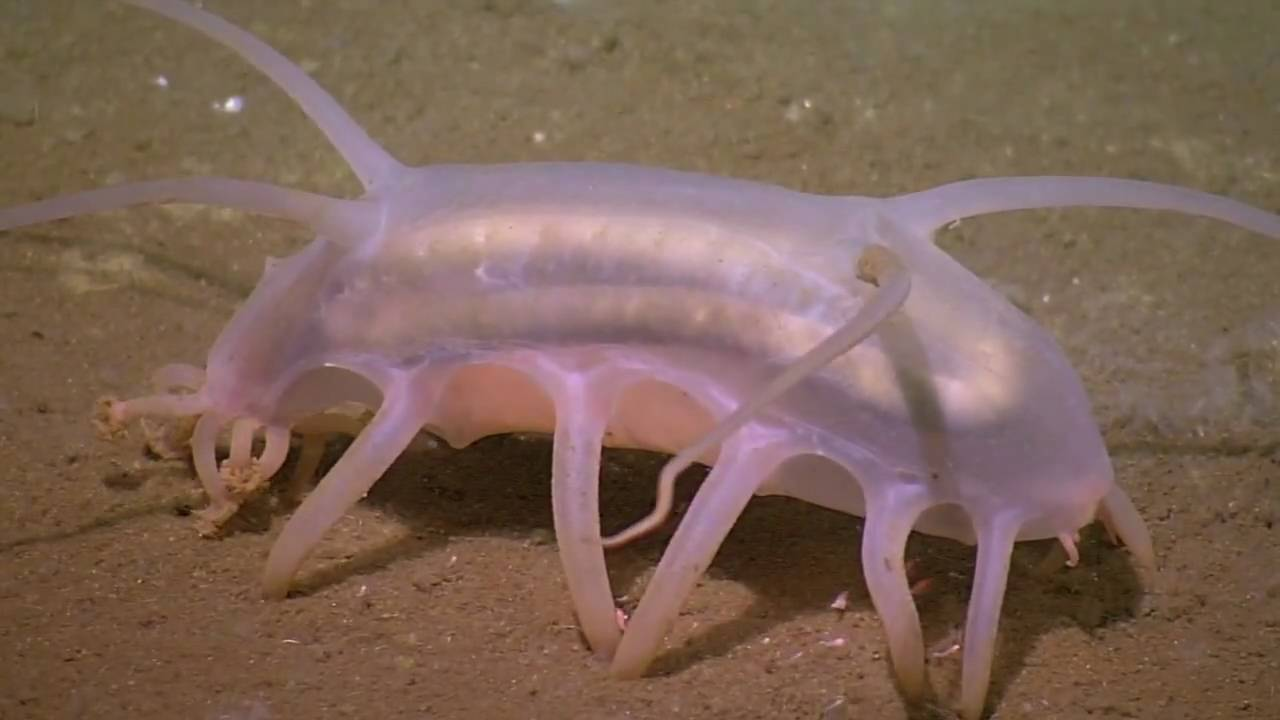 The Creature Feature: 10 Fun Facts About Sea Pigs.