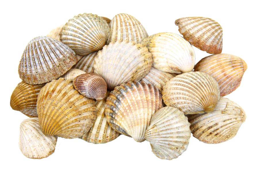 Sea Shells Transparent Image seaside PNG graphics.