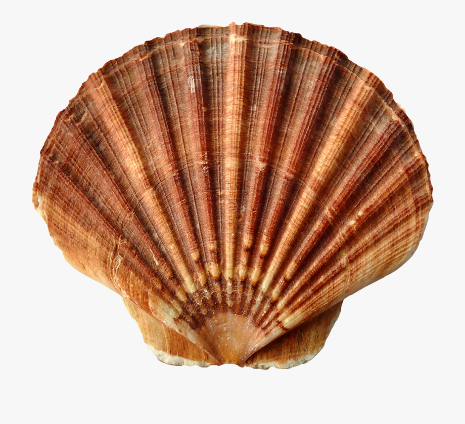 Clam Clipart Shell Beach.