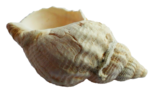 Seashell PNG images free download.