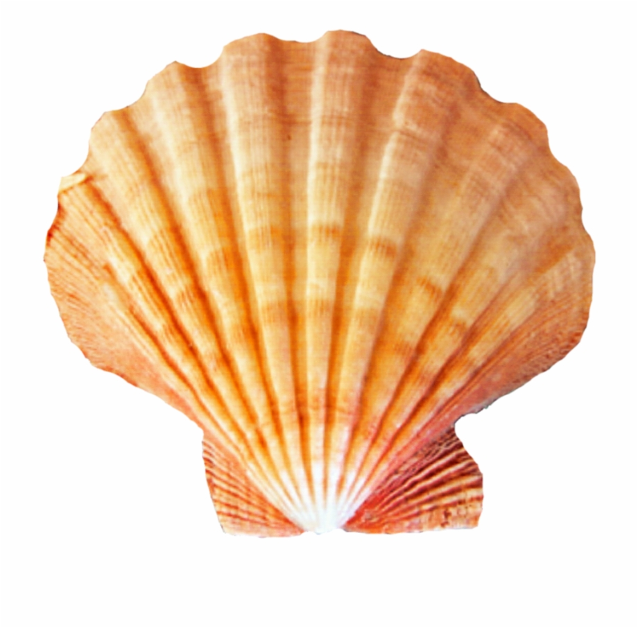 Seashell Png Free PNG Images & Clipart Download #57765.