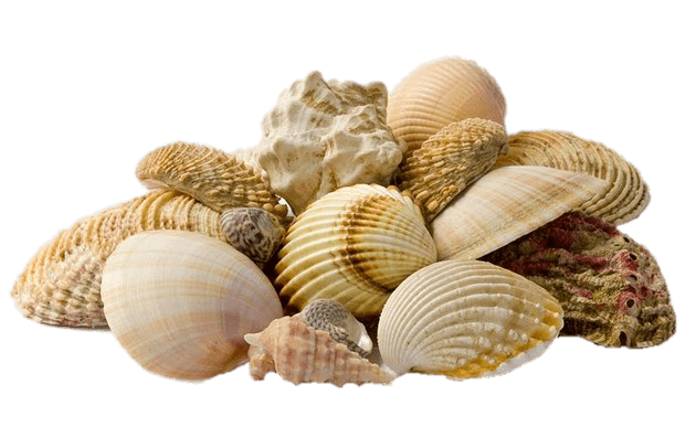 Collection Of Seashells transparent PNG.