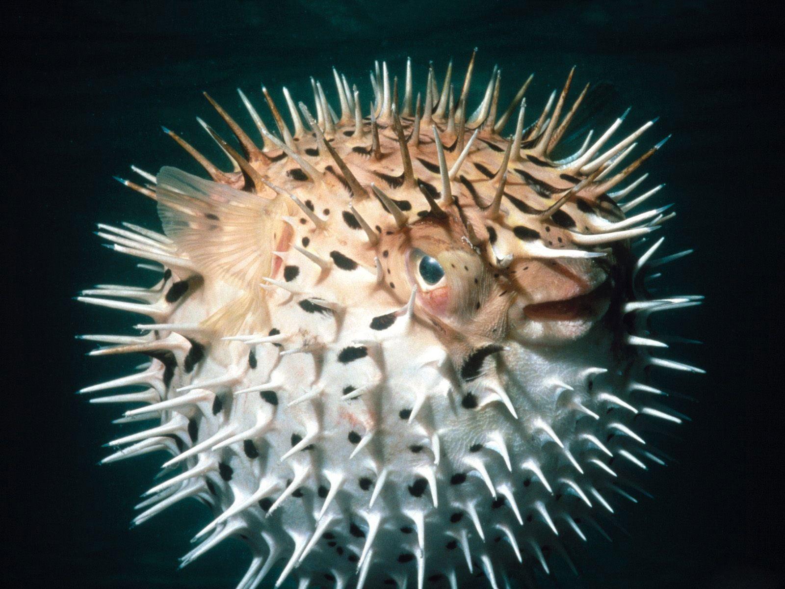 Desktop Wallpaper · Gallery · Animals Balloon Fish puffers.