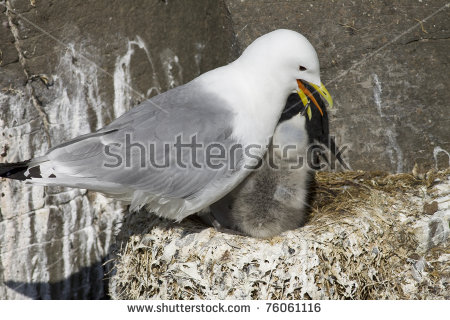 Sea Squab Stock Photos, Royalty.