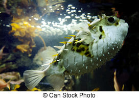 Sea squab Stock Photo Images. 9 Sea squab royalty free pictures.