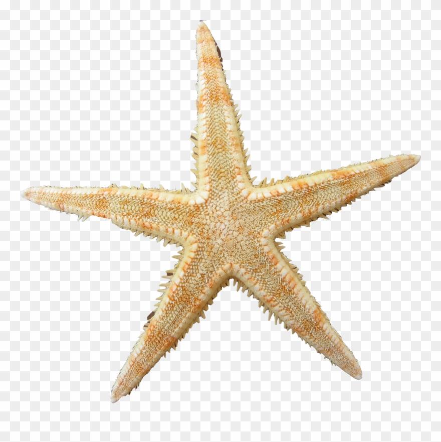 Yellow Clipart Sea Star.