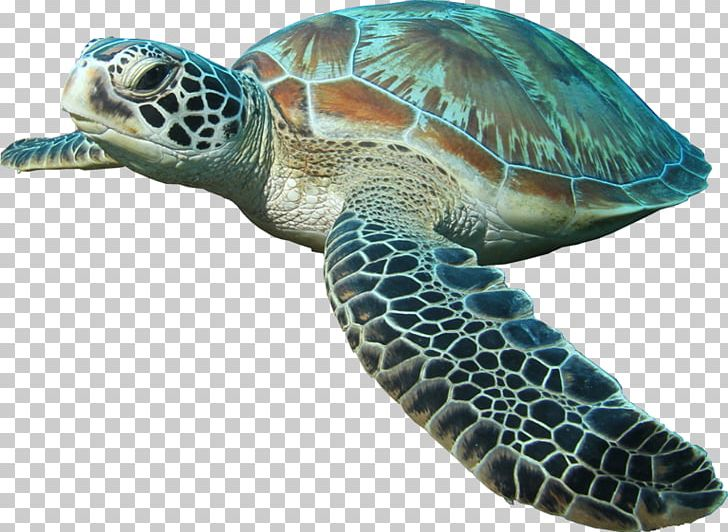 Sea Turtle Islamorada Reptile PNG, Clipart, Animal, Animals.