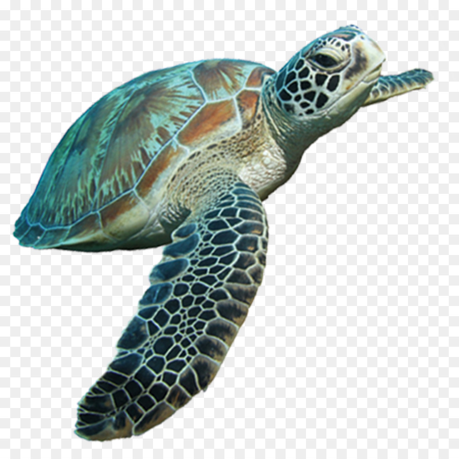 Loggerhead Sea Turtle Png & Free Loggerhead Sea Turtle.png.