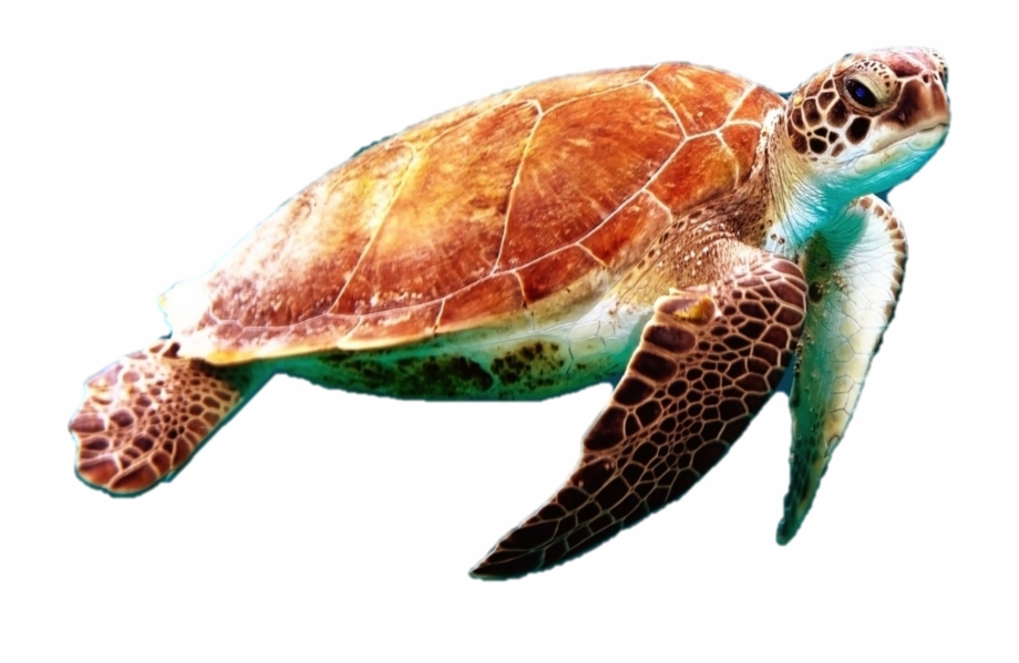 Green Sea Turtle Transparent Free PNG Images & Clipart.