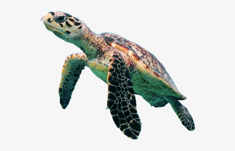 Turtle Png Transparent Picture.