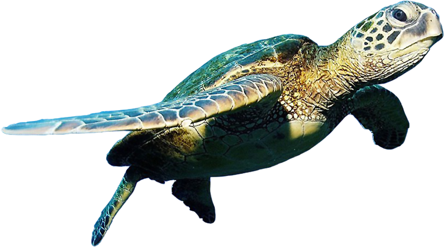Pin by pngsector on Turtle PNG image and Clipart.