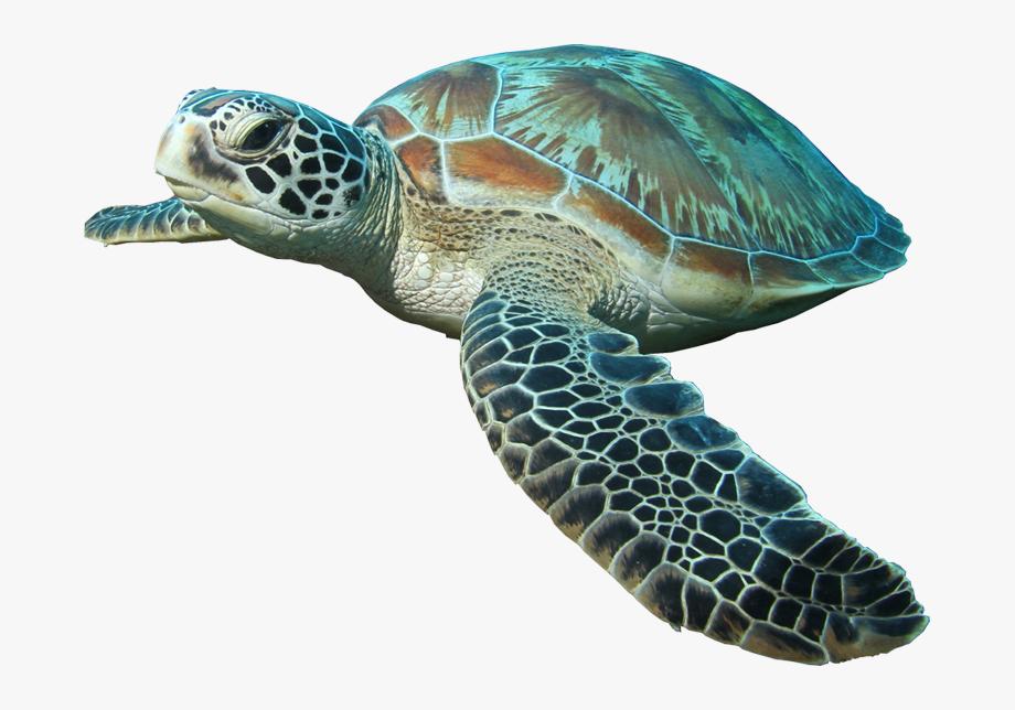 Hd Sea Turtle Image Transparentpng Turtle Aquarium.