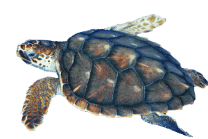 Sea Turtle transparent PNG.