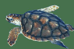 Sea Turtle transparent PNG.
