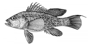 Black Sea Bass BW Clip Art Download.