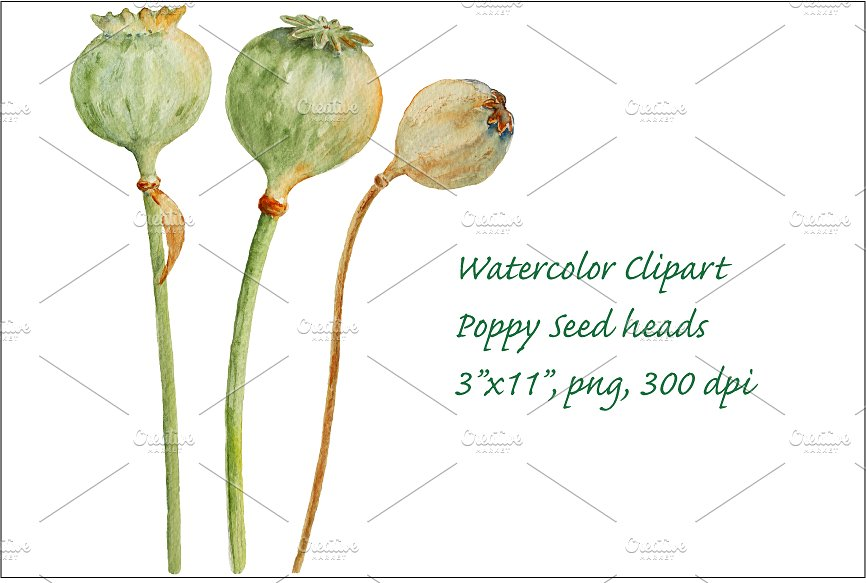 Watercolor Seed Pod Honesty ~ Illustrations on Creative Market.