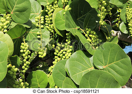 Stock Photo of Sea Grape Leaves and Berries.