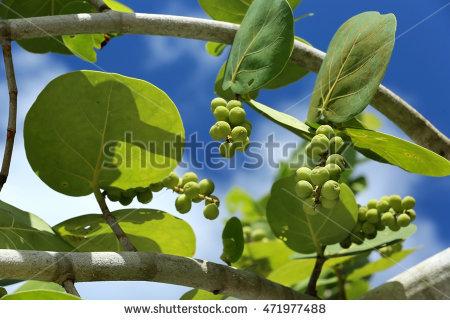 Sea Grape Tree Stock Images, Royalty.