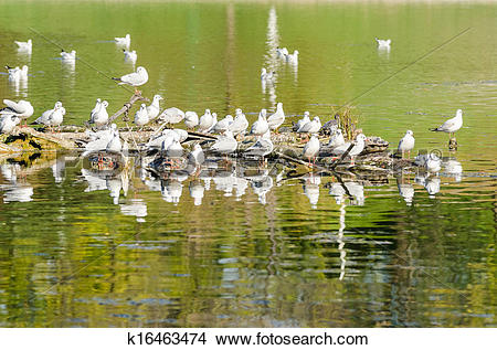 Stock Photo of Seagull Colony On River k16463474.