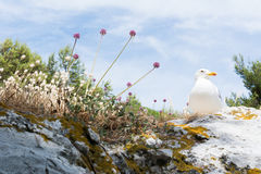 Rock With Seagull Nests Stock Photos.