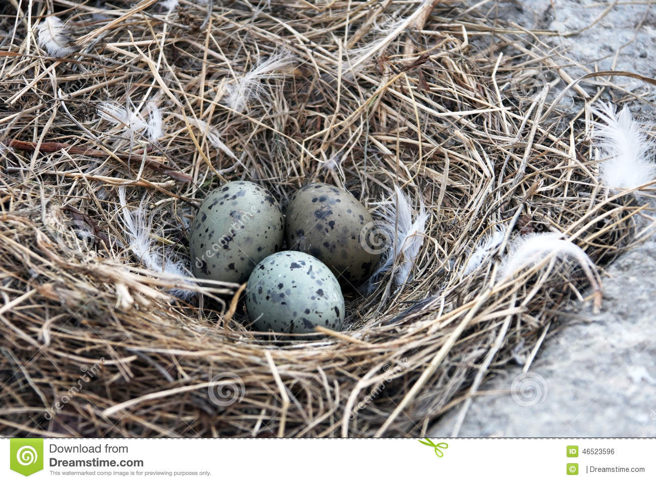 Seagull Nest With Three Eggs Stock Photo.