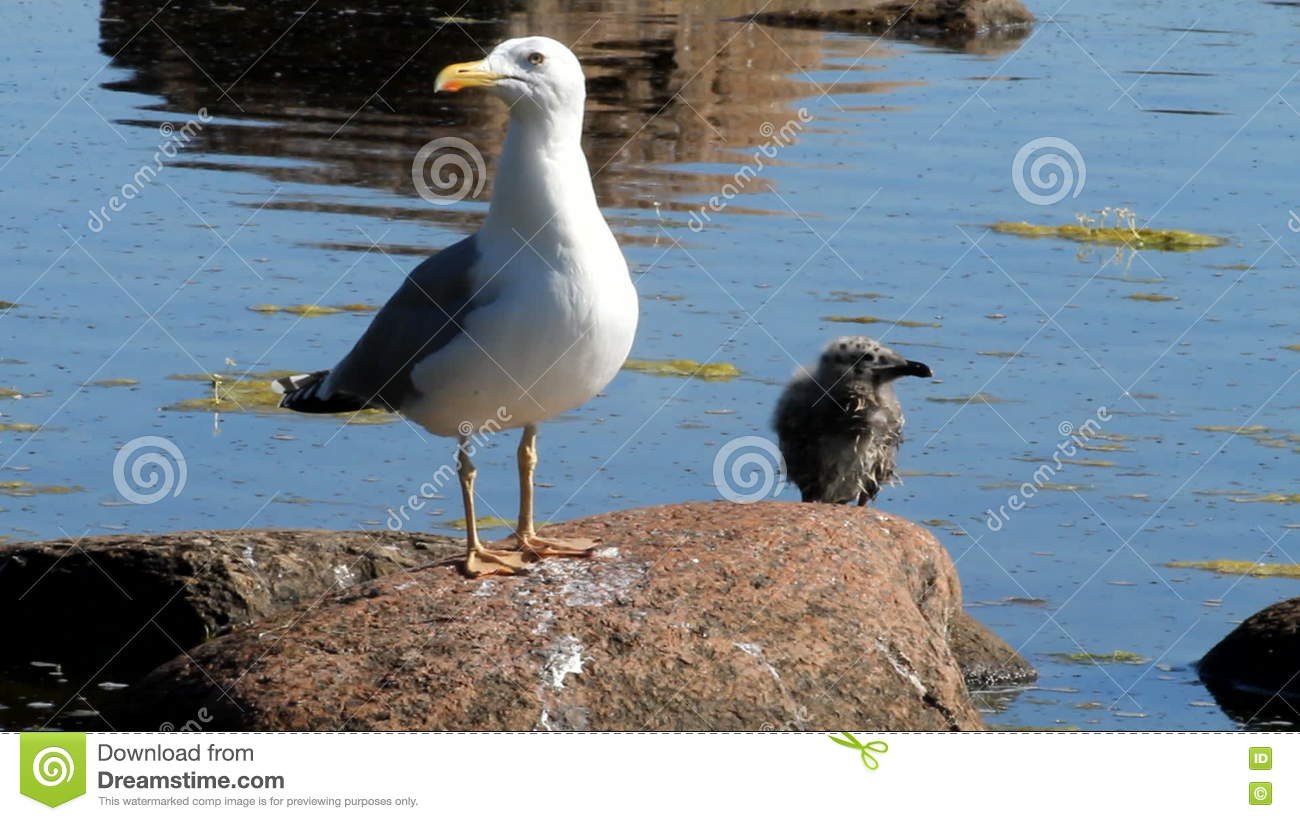 Seagull With A Baby Bird On A Stone In A Colony Of Birds, With A.