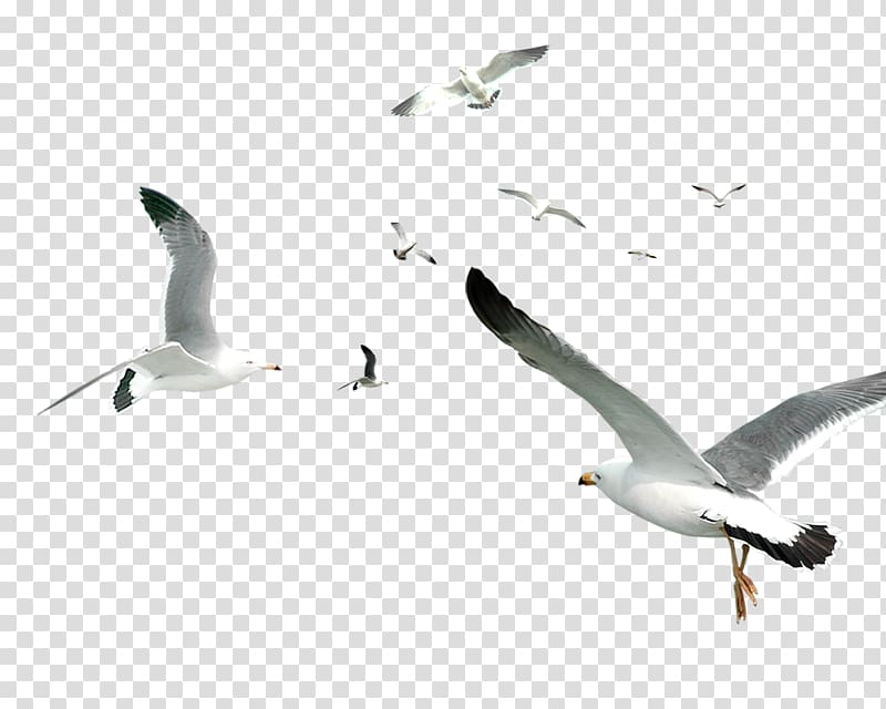 Flying Bird Gulls Flocks, White Simple Seagull Flying Bird.