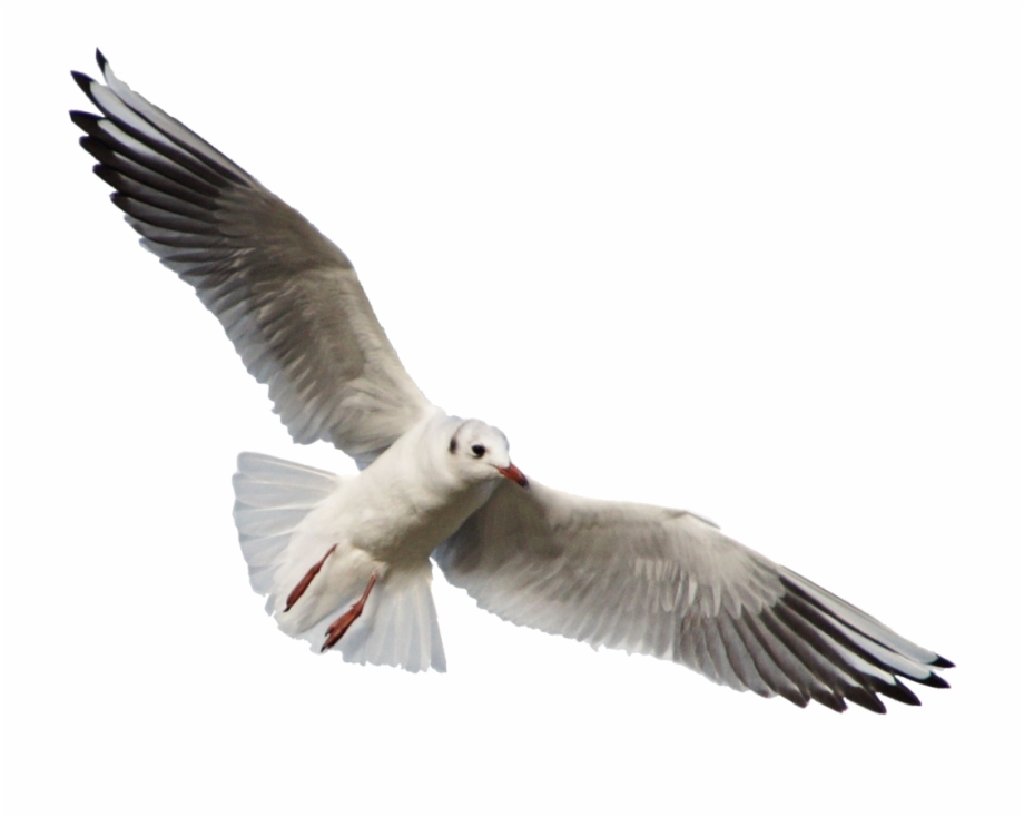 Free Png Download Gull Png Images Background Png Images.