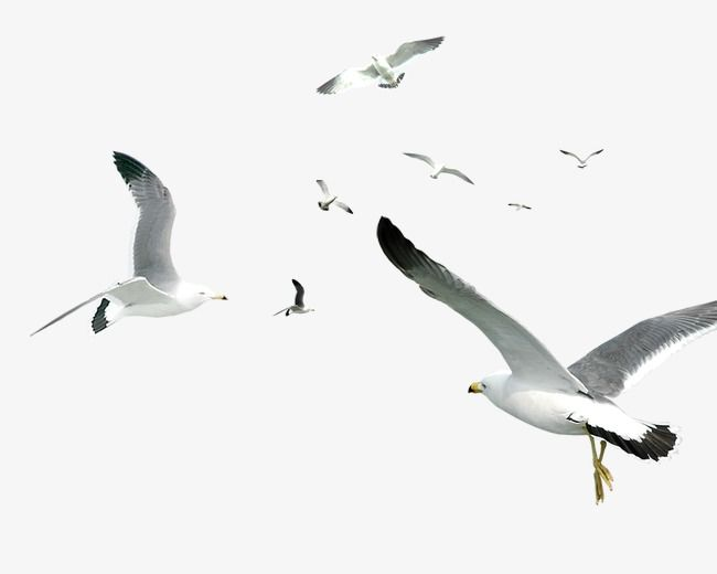 Seagull, Bird, Fly PNG Transparent Clipart Image and PSD.