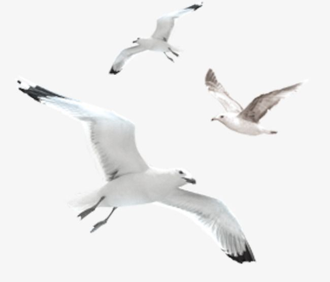 Wings Flying White Seagulls Free Png, Flying Seagulls, White.
