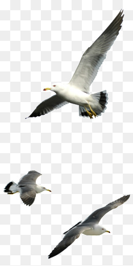 Seagull Png & Free Seagull.png Transparent Images #1853.