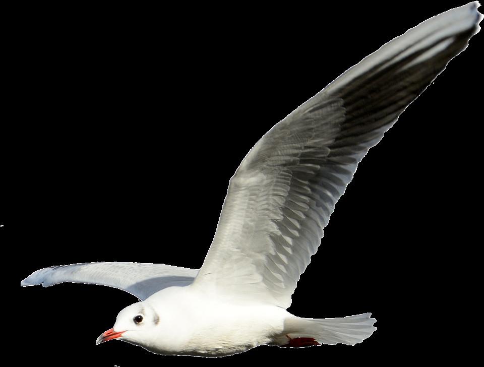 Gulls Portable Network Graphics Clip art Flight Shorebirds.