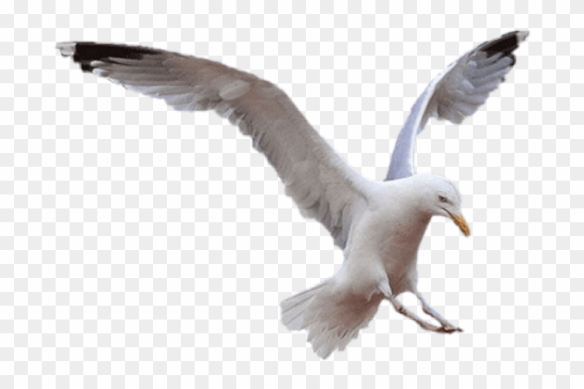 Seagull Png, Transparent Png.