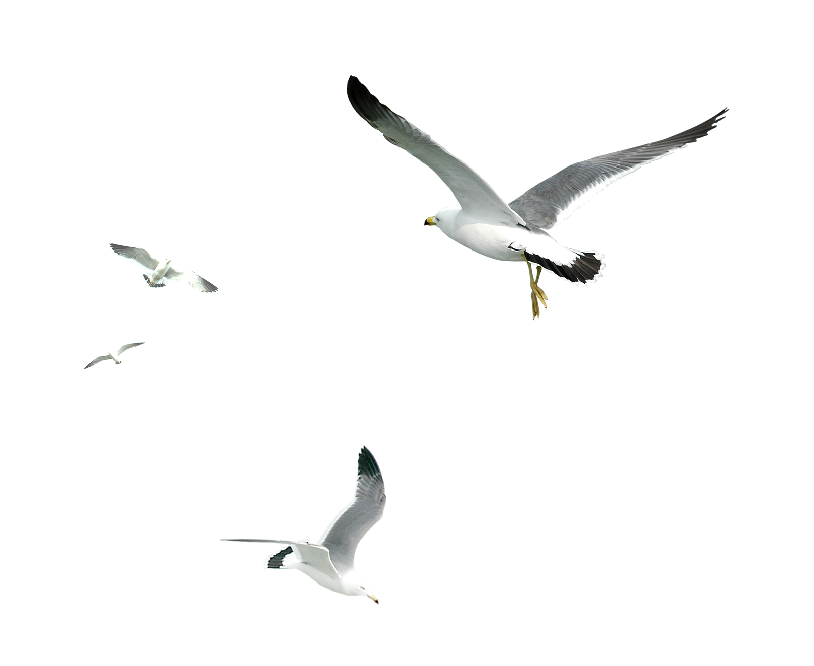 Seagull PNG images.