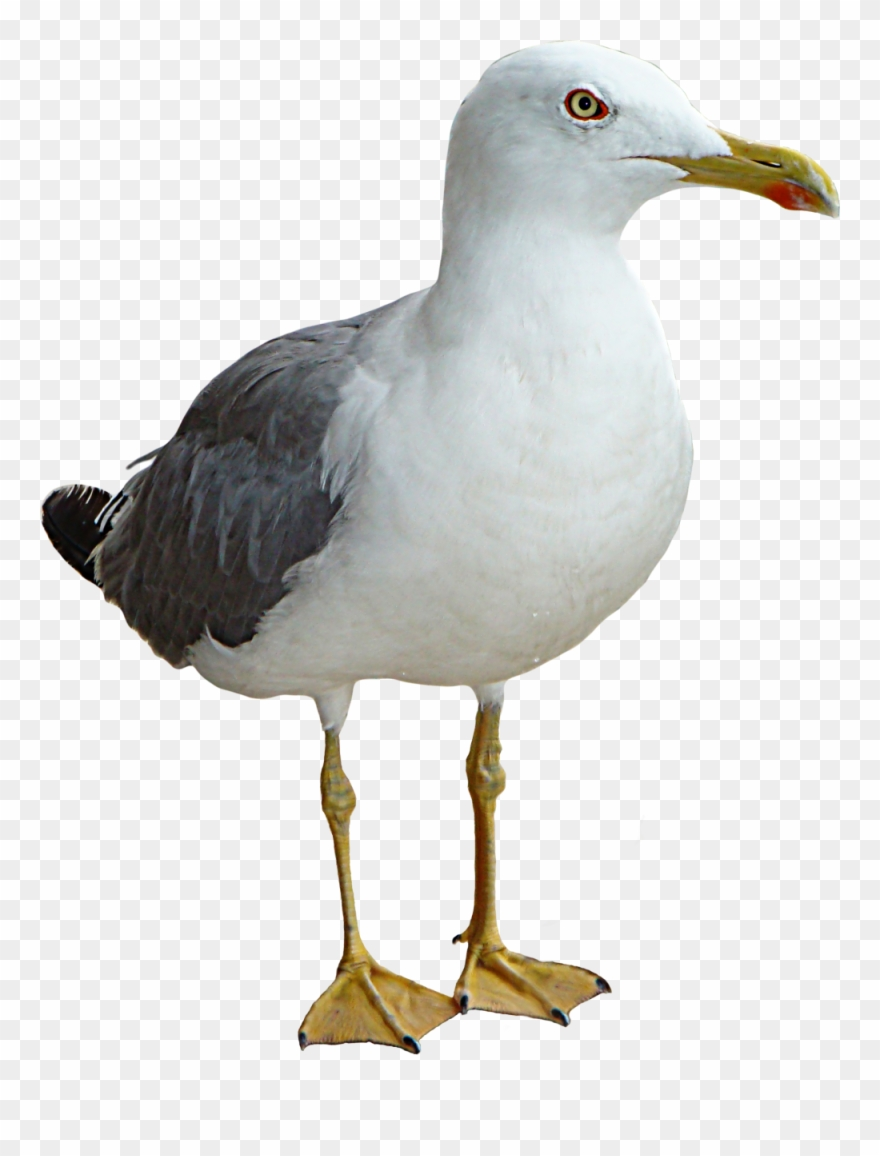 Seagull Bird Thinking Png Transparent Image.