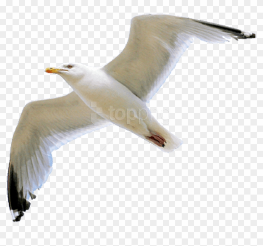 Seagull Clipart Transparent Background.