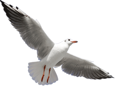 Download SEAGULL Free PNG transparent image and clipart.