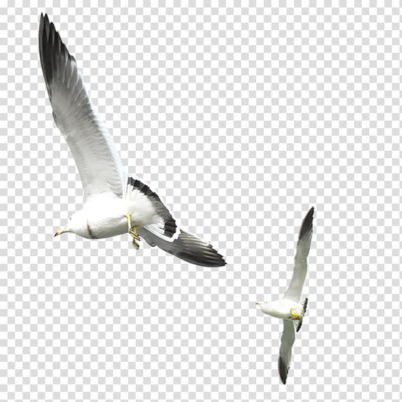 Two white seagulls, Gulls Bird, Flying seagull transparent.