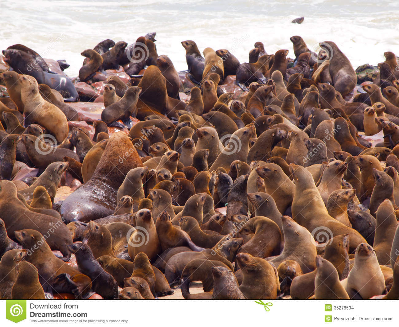 Brown Fur Seal Colony (Arctocephalus Pusillus) Stock Images.