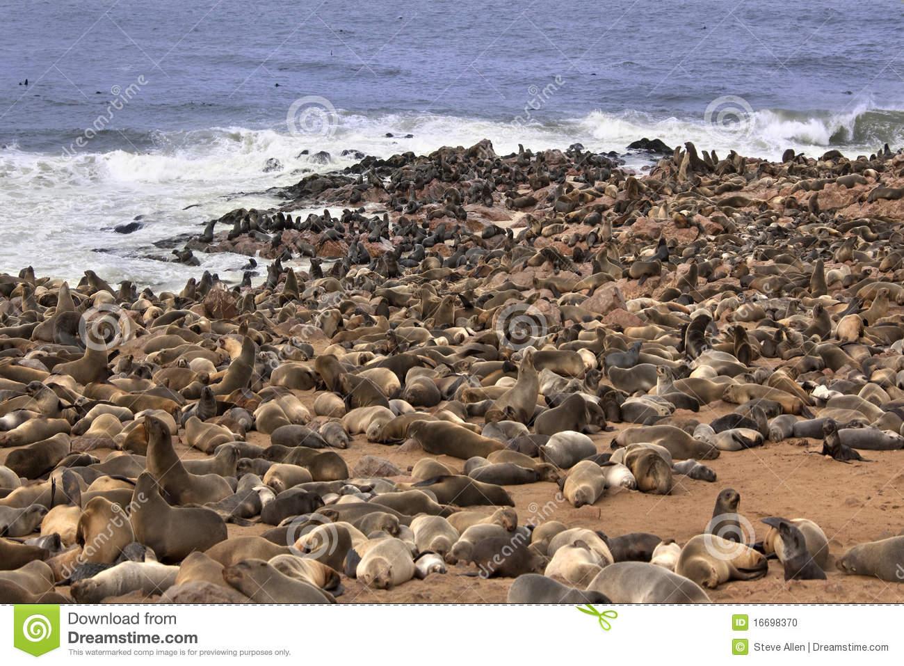 Cape Fur Seal Colony.