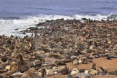 Seal Colony Stock Photo.