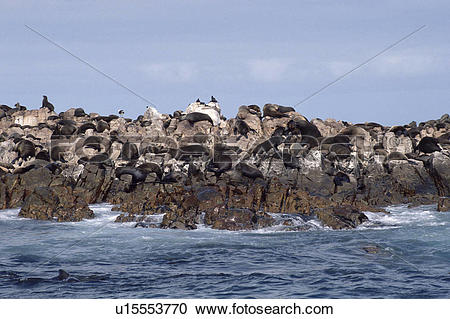Stock Photography of Cape fur seal (Arctocephalus pusillus) at.