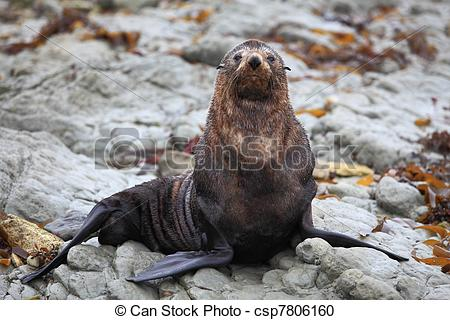 Stock Photography of wild seal at Seal colony coastal in Kaikoura.