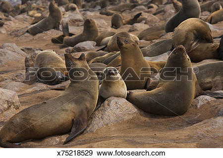 Stock Photograph of Seal colony, Cape Cross, Swakopmund, Namibia.