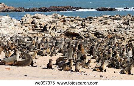 Stock Image of Kleinzee Cape Fur Seal colony, Arctocephalus.