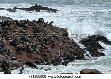 Stock Photograph of Seal colony at Cape Cross in Namibi k31360509.