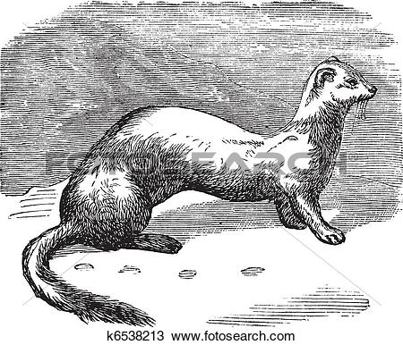Clipart of Stoat (Mustela erminea) or Ermine in winter pelt.