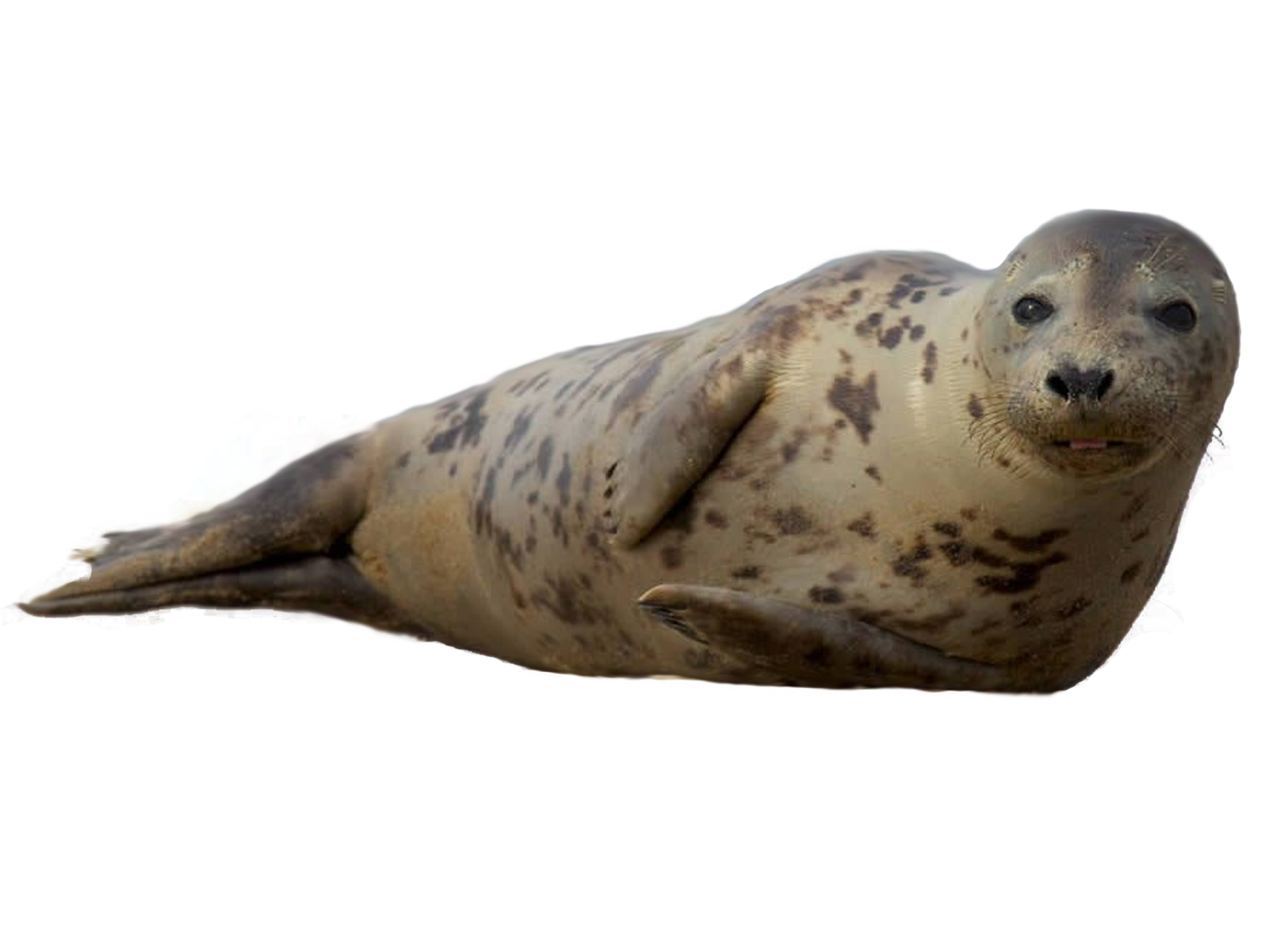Harbor Seal PNG Transparent Image #1.